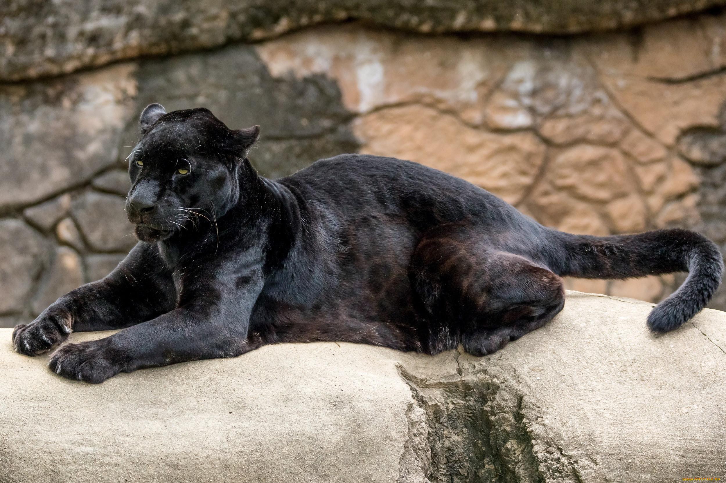 пальцем пума черная фото животное помню
